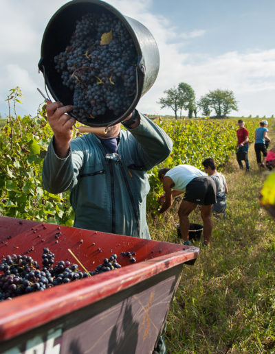 Vendange du Gamay 2016, Chevillard, Domaine Saint-Germain, vin biologique en Savoie, Saint-Pierre d'Albigny