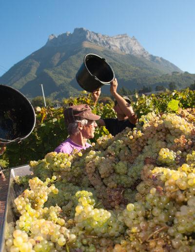 Vendange de Jacquere 2016 devant la dent d'Arclusaz, Albigny, Domaine Saint-Germain, vin biologique en Savoie, Saint-Pierre d'Albigny