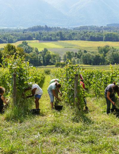 Vendange de Roussette 2015, Combe de Savoie, Domaine Saint-Germain, vin biologique en Savoie