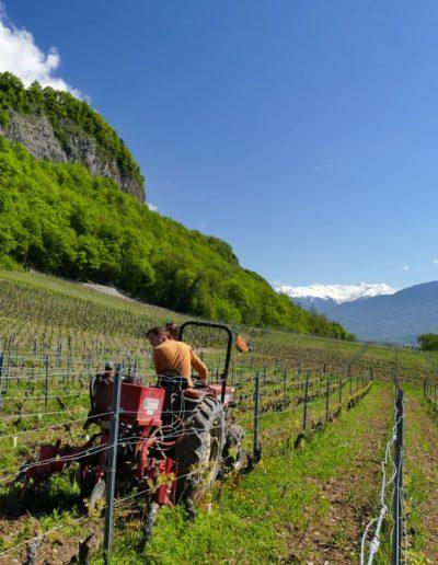 travail des interceps domaine Saint-Germain vigneron bio en Savoie