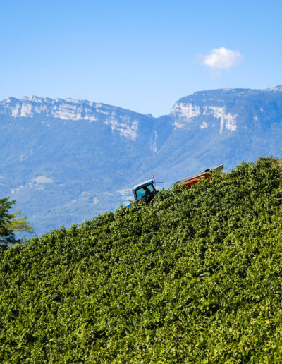 Domaine Saint-Germain, vignoble bio de forte pente en Savoie : vendange des Chignin Bergeron à Montmélian (73)