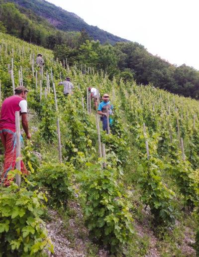 Relevage sur echalas au Domaine Saint-Germain, vins bio en Savoie